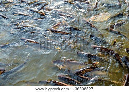 Huge quantity of catfish in Chao Phraya river Bangkok Thailand