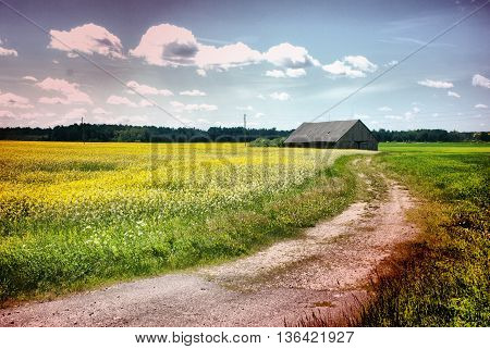 Latvian village landscape - the blue sky and growing wheat