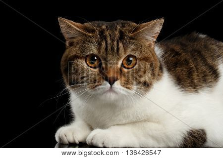 Closeup Cute Scottish Straight Male Cat Face Lying with paw on Isolated Black Background, Side view, Curious Looking in Camera Tabby with white Cat