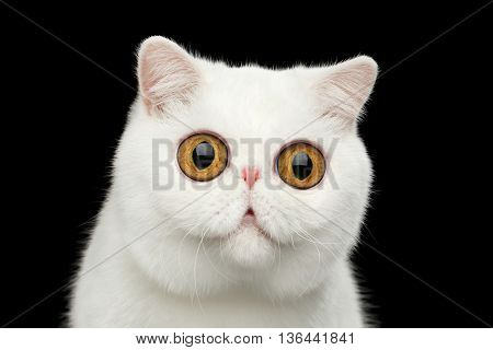 Close-up Funny Portrait of surprised Pure White Exotic Cat Head on Isolated Black Background Front view Curious fascinated Looks Huge Eyes