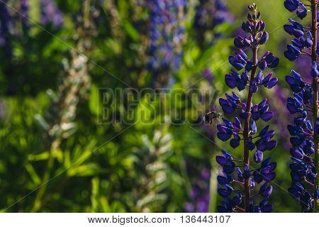 Purple Lupines And Bumblebee Flying