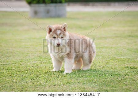 Cute siberian husky puppy urinating on green grass