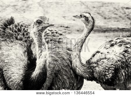 Pair of Emu birds - Dromaius novaehollandiae. Emu is the second-largest living bird by height after its ratite relative the ostrich. Black and white photo. Bird portrait. Beauty in nature. Flightless bird.