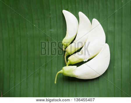 Sesban on banana leaf background with copy space