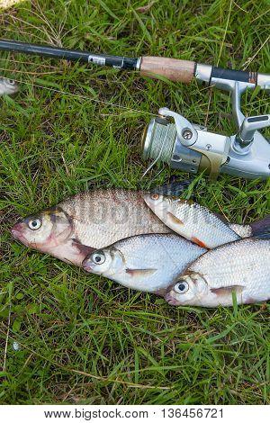Several Common Bream Fish, Common Roach And Silver Bream Or White Bream Fish On Green Grass. Catchin