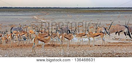 Panorama of lots of animals including Gemsbok Oryx