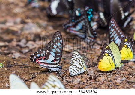 Butterflies Mud-puddling In Nature