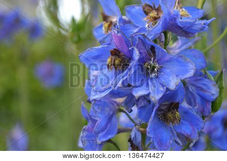 blooming blue delphinium flower on the green background