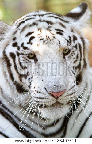 Head Shot Of A Bengal White Tiger