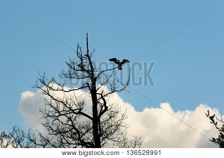 Single large bird with open wings landing on or leaving thin branch of old tree with blue sky and fluffy cloud background
