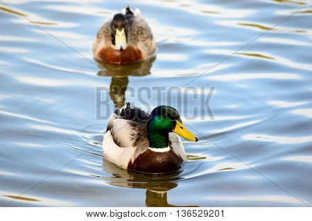 Close up on a pair of swimming mallard ducks approaching the camera in the calm water of a lake with copy space