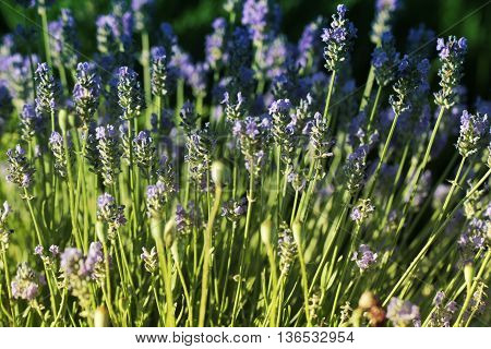 Beautiful Violet Flowers. little summer flower. little summer flower
