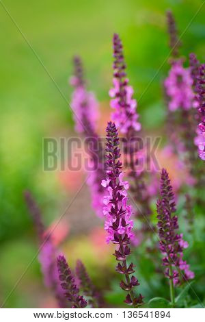 Garden sage with shallow depth of field. poster