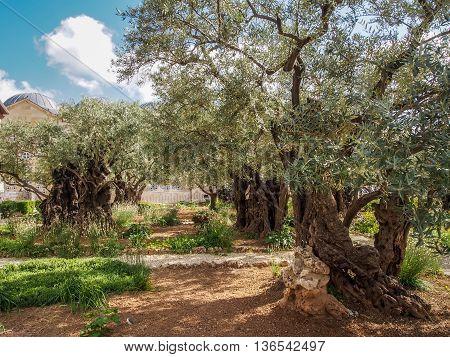 Old olive trees in the garden of Gethsemane on the Mount of Olives in Jerusalem, Israel