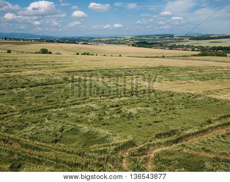 Damaged unripe crops in a wheat field