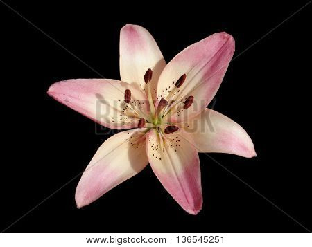 Asiatic hybrid liliy 'Rosella's Dream' pink-white flower isolated on black. poster
