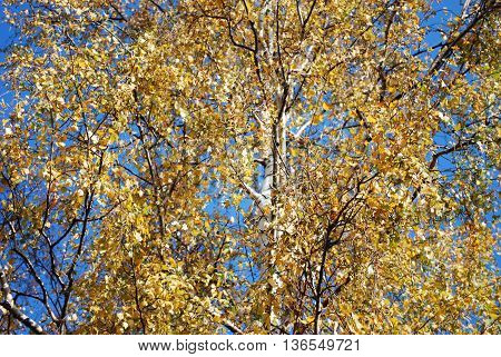 Autumn Birch Tree Crown of Yellow Leaves for Background