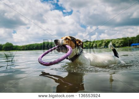 small dog breed the Jack Russell Terrier swims in the lake with the ring in his mouth on a summer day