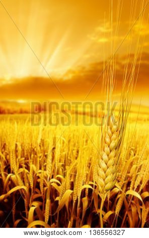close up shot from wheat field over sunset