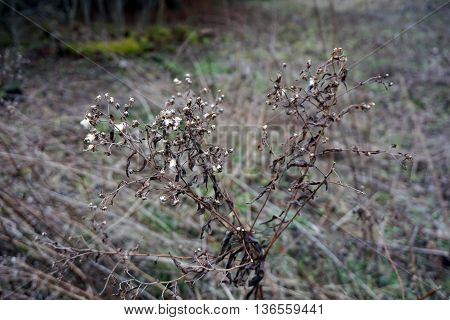 The seeds of a goldenrod (Solidago sp) plant during December in Harbor Springs, Michigan. poster
