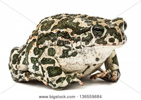 Toad green lat. Bufo viridis isolated on white background