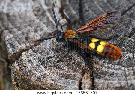 Giant wasp or Scolia sits on log