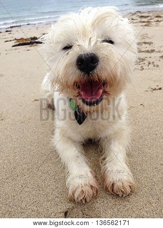 West highland terrier dog looking happy covered in sand on a beach. Westie photographed in New Zealand.