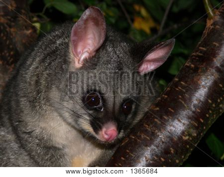 Possum  Brushtail 1 Jpeg For Stock