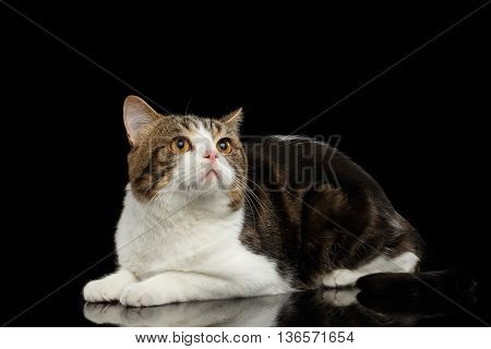 Scottish Straight Cat White with Brown tabby Lying on Mirror Isolated Black Background Side view Looking up
