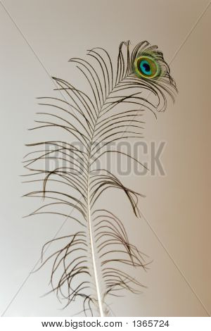 Nice Peacock Feather on beautiful brown background poster