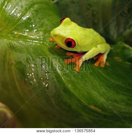 Red eye tree frog on green wet leaf.