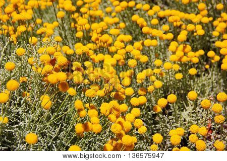 numerous yellow globular flowers, moss, green silver stems