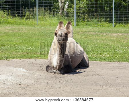 Big Camel In The Zoo