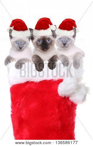 Siamese Kittens in a Stocking Wearing Santa Hats