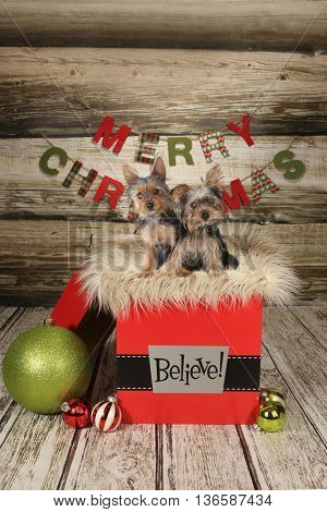 Yorkie Puppies on a Christmas Themed Background