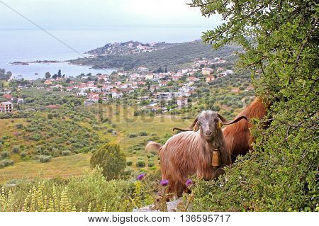 Goats with sea in the background - travel concept