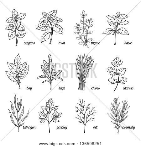 Herbs and spices set. Culinary herbs.  Hand drawn decorative herbs and spices. Vector spices and herbs illustrations.  Herbs and spices ink vintage stile.
