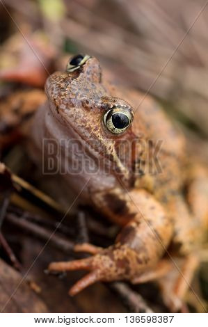 portrait brown Rana temporaria. Close Up. Macro