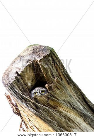 Beautiful owl (spotted owlet) peeking out from a hollow tree trunk