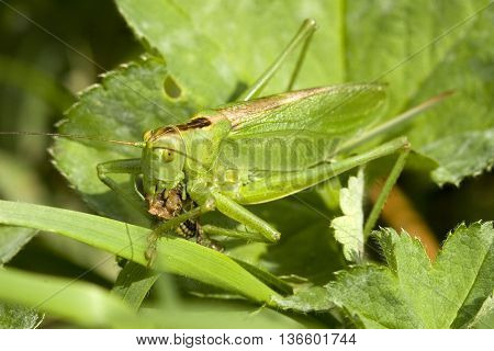 Great green bush cricket eating on grass. Marco photography of insect.