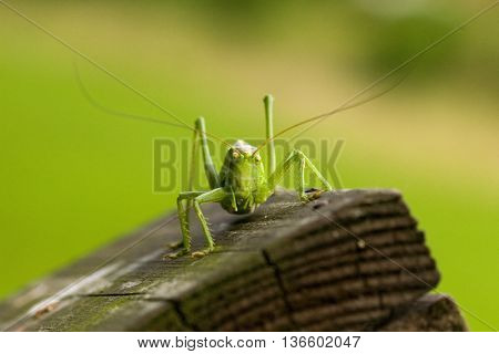 Great green bush cricket on wood. Marco photography of insect.