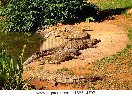 Nile crocodiles herd lying in the grass. Kwazulu-Natal South Africa.