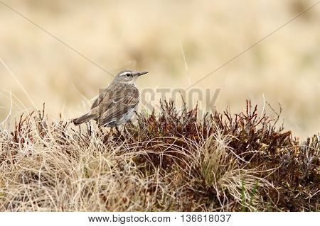 Anthus spinoletta - water pipit in Rodnei mountains