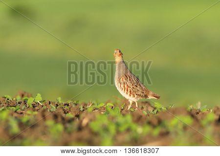 grey partridge looking at camera ( Perdix perdix )