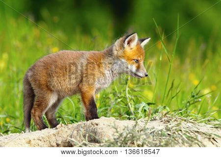 young european red fox ( Vulpes vulpes )