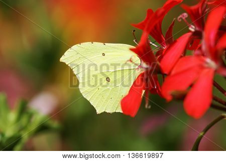 Beautiful brimstone  in a flowering geranium plant
