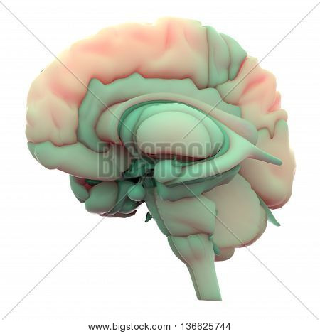 3D Illustration of Human Brain Inside Anatomy