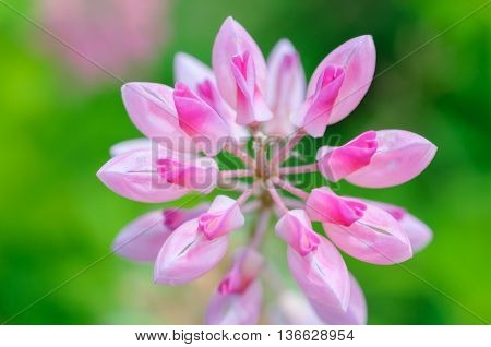 natural background pink lupine flowers. lupine pink red flower. Top view Natural background.