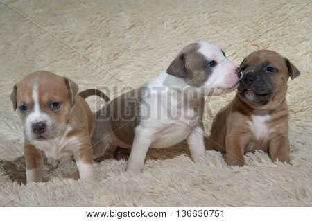 three adorable staffordshire terrier puppies playing. puppy staffordshire terrier dog portrait
