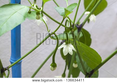 Growing chilli peppers - chilli pepper plant in bud and flower, growing on gardening cane, ready to grow fruit.